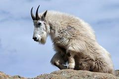 Cabra de montanha que levanta-se do descanso sobre o pico de Harney que negligencia o Black Hills de South Dakota EUA fotografia de stock royalty free