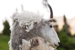Cabra de montanha resistida fotografia de stock royalty free