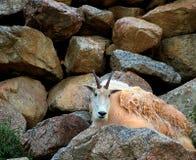 Cabra de montanha rochosa Imagens de Stock