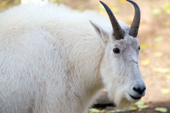 Cabra de montanha (Rocky Mountain Goat) nos territórios yukon, Canadá imagem de stock royalty free