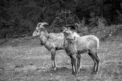Cabra de montanha selvagem imagens de stock