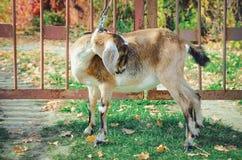 Cabra de Nubian à exploração agrícola imagens de stock
