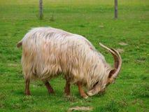 Cabra de oro de Guernesey que come la hierba imagenes de archivo