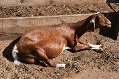 Cabra de relajación que toma el sol Foto de archivo libre de regalías