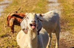 Cabra de riso de Nubian Fotos de Stock Royalty Free