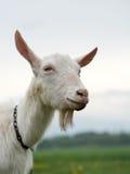 Cabra de sorriso Fotografia de Stock Royalty Free