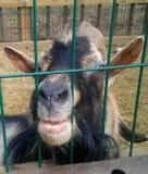 Cabra de sorriso engraçada que espreita para fora da gaiola fotografia de stock