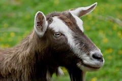 Cabra de Toggenburg Fotografia de Stock