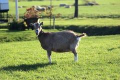 Cabra de Toggenburg Fotos de archivo libres de regalías