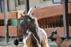 Cabra de Valois del perfil de Hircus del Capra fotografía de archivo
