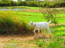 cabra del animal doméstico Fotografía de archivo libre de regalías