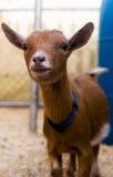 Cabra del bebé Fotografía de archivo libre de regalías