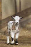Cabra del bebé Foto de archivo
