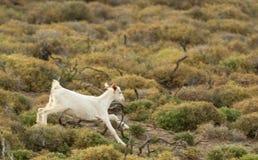 Cabra del bebé que corre en la naturaleza imagen de archivo