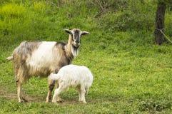 Cabra del bebé y cabra de la mamá en el campo Foto de archivo libre de regalías