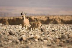 Cabra del cabra montés de Nubian con los jóvenes Fotos de archivo libres de regalías