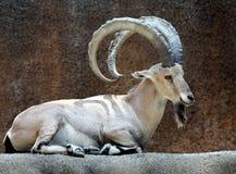 Cabra del cabra montés Fotos de archivo