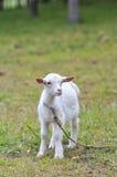Cabra del cabrito Foto de archivo libre de regalías