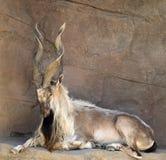 Cabra del Markhor con los claxones torcidos imagen de archivo