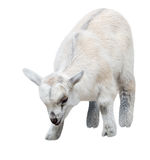 Cabra del niño aislada en blanco Foto de archivo
