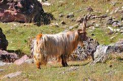 Cabra del varón alfa Foto de archivo libre de regalías