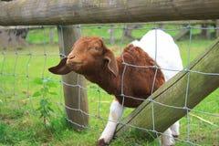 Cabra diminuta Foto de Stock Royalty Free