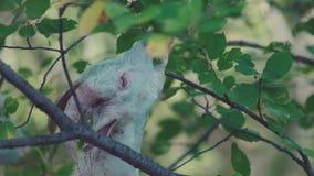 Cabra divertida que come las hojas del arbusto Pequeña cabra blanca Animales en la granja almacen de metraje de vídeo