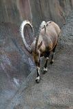 Cabra do íbex Foto de Stock