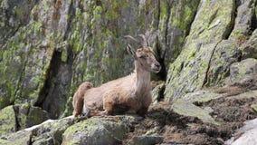 Cabra do íbex em seu habitat natural vídeos de arquivo