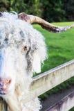 Cabra do angora foto de stock royalty free