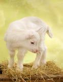 Cabra do bebê na caixa de madeira Imagens de Stock Royalty Free