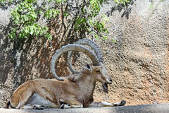 Cabra do íbex Imagem de Stock
