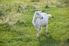 Cabra do leite Fotos de Stock Royalty Free