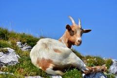 Cabra doméstica branca e marrom alta nos montes Imagens de Stock Royalty Free