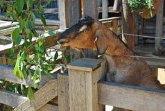 Cabra doméstica de Brown que alimenta-se em uma tenda em uma exploração agrícola Imagem de Stock