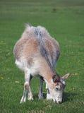 Cabra doméstica na cabra doméstica em um pasto Foto de Stock