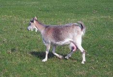 Cabra doméstica no prado verde Imagem de Stock