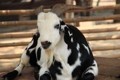 Cabra doméstica preto e branco Imagens de Stock