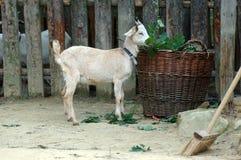 Cabra e alimento Imagens de Stock