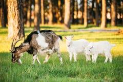 Cabra e cabra de duas crianças que pasta na grama verde do verão em Sunny Day Imagens de Stock