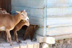 Cabra e a casa de campo Imagens de Stock Royalty Free
