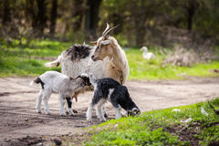 Cabra e crianças junto em uma floresta, cabra do bebê, cabra que pasta Imagens de Stock Royalty Free