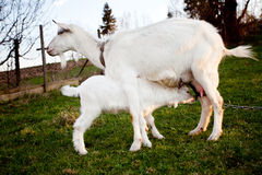Cabra e goatling Foto de Stock Royalty Free