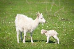 Cabra e miúdo Fotografia de Stock Royalty Free