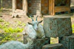 Cabra em um jardim zoológico Fotos de Stock Royalty Free