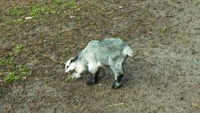 Cabra em um jardim zoológico em Wolfurt, Vorarlber, Áustria Foto de Stock