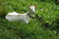 Cabra em um pasto Fotografia de Stock Royalty Free
