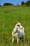 Cabra em um prado Imagens de Stock Royalty Free