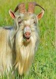 Cabra em uma horta Retrato, close up A cabra ? um dos primeiros animais domesticados Domesticado no M?dio Oriente fotografia de stock royalty free
