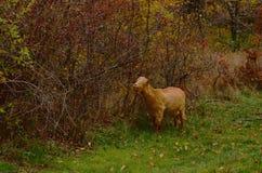 Cabra en bosque Imágenes de archivo libres de regalías